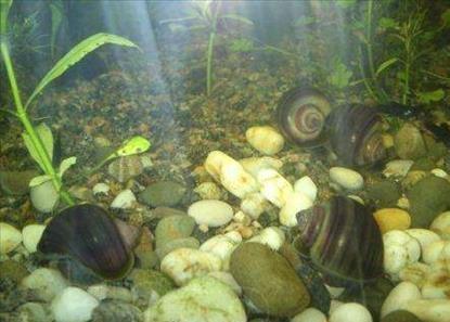 Мифы об аквариумных улитках