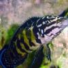 Julidochromis marlieri