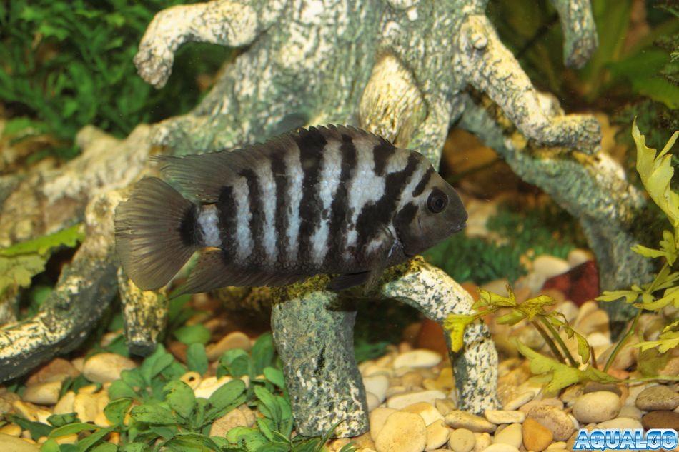 чернополосый самец