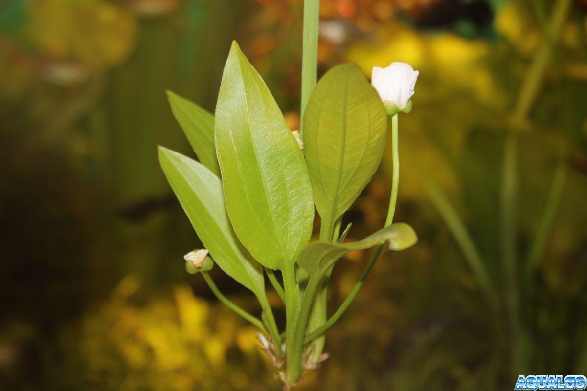 цветение Эхинодоруса