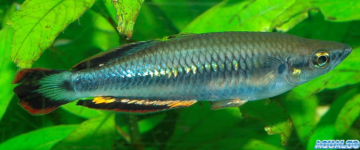 Бедоция Гайа ( Bedotia geayi )