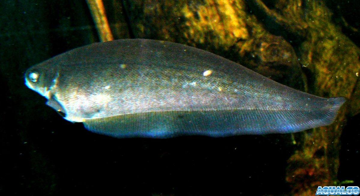 Африканская рыба-нож (Ксеномист нигирийский)(Xenomystus nigri)