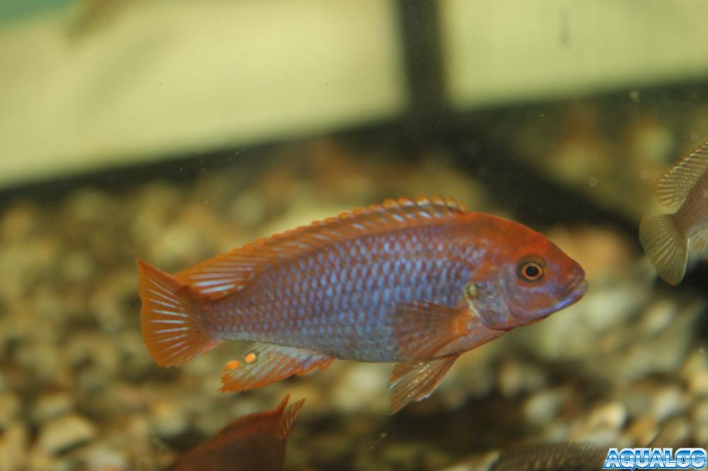 Jodotropheus sprengerae