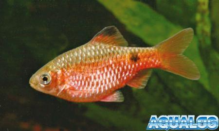 Барбус огненный, или огненный пунтиус (Barbus conchonius, Puntius conchonius)
