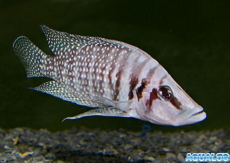 Альтолампрологус кальвус уайт (Altolamprologus calvus white)