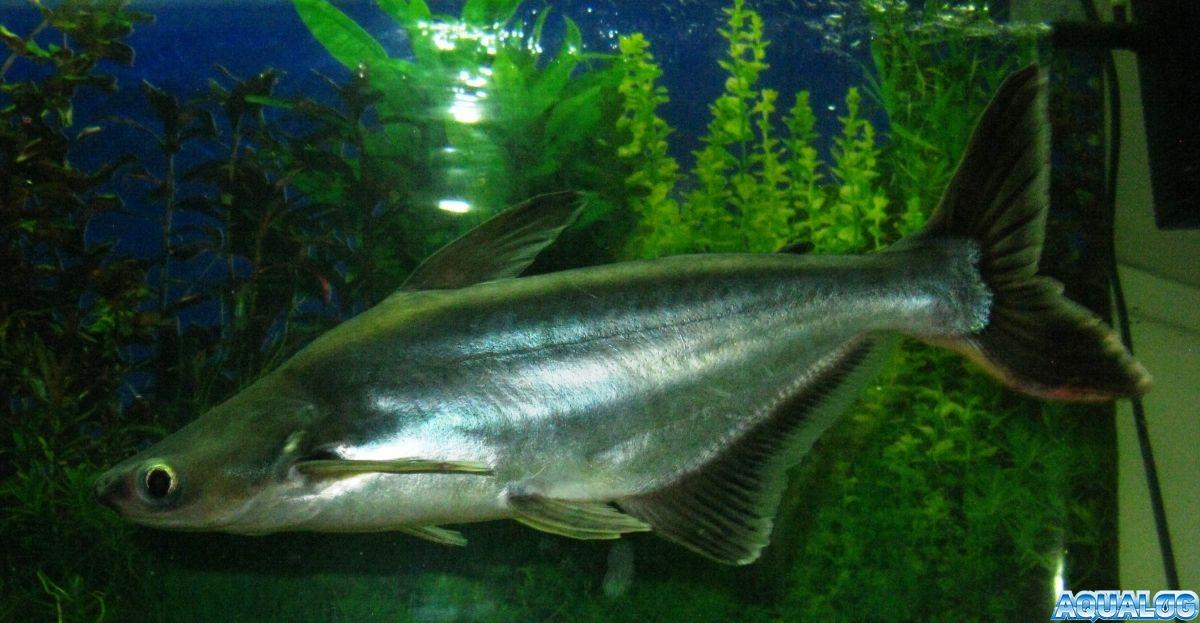 Акулий сом, пресноводная акула, сиамский пангасиус (Pangasius sutchi)