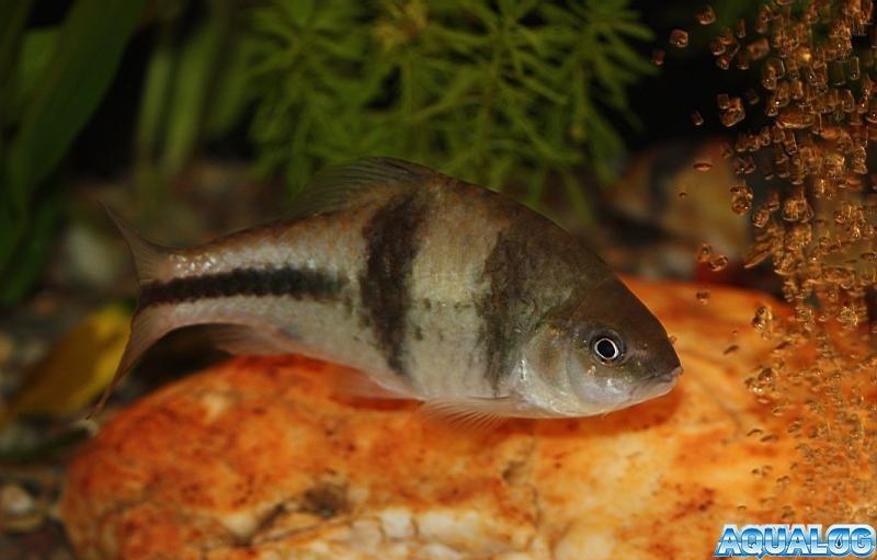 Барбус крестовый (Puntius lateristriga), Барбус латеристрига