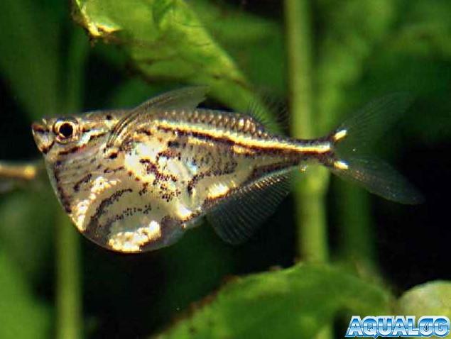 Карнегиелла мраморная (Carnegiella strigata)