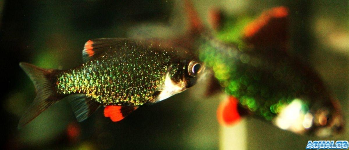 Барбус мутант (barbus tetrazona var. green)