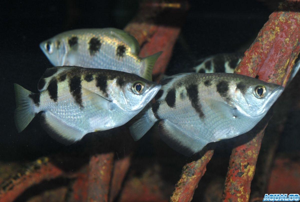 Toxotes jaculatrix
