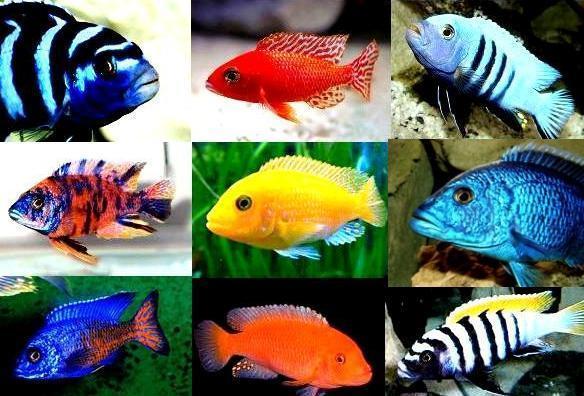 Цихлиды, аквариумные рыбы