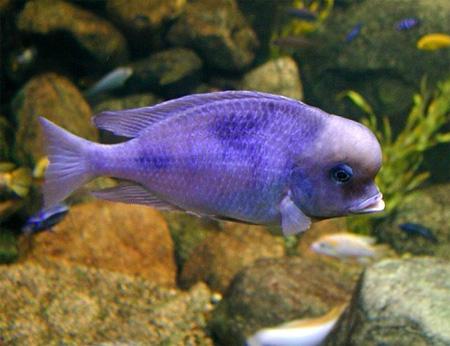Рыба-дельфин аквариумная