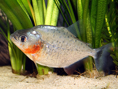 Карликовая пиранья (serrasalmus hollandi)