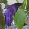 Рыба-петух аквариумная: уход и содержание