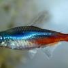 Неон аквариумная рыба