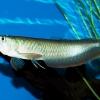 Рыба-дракон аквариумная