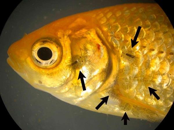 Паразиты у аквариумных рыб