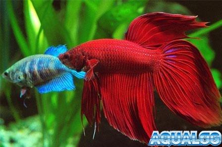 Сиамская бойцовая рыбка