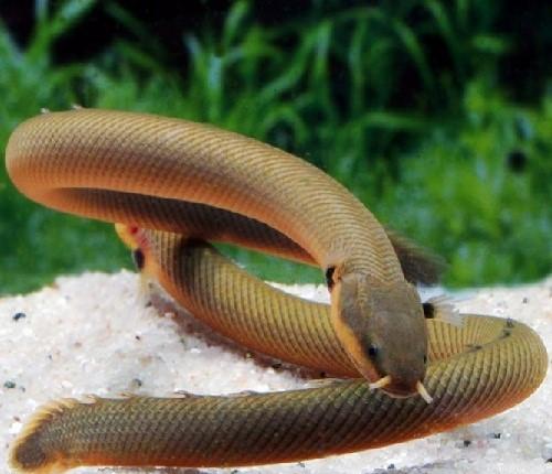 Аквариумная рыба-змея