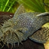 Аквариумная Рыба-Присоска