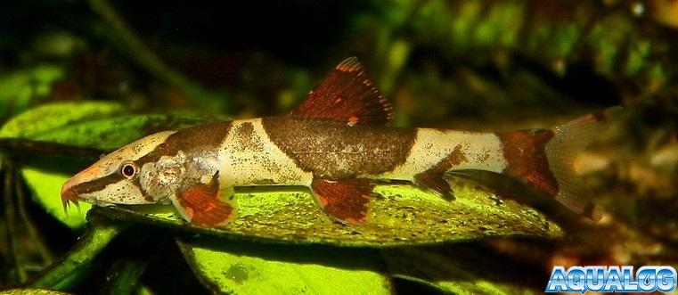 Homaloptera orthogoniata