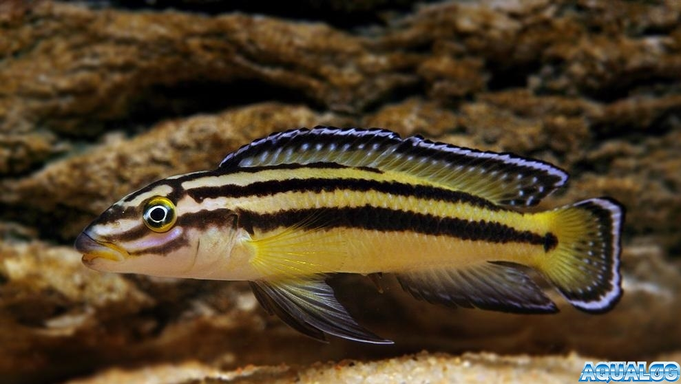 Julidochromis regani