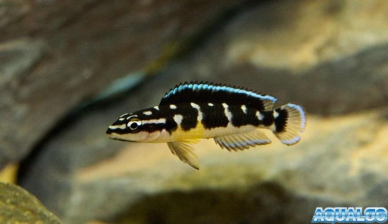 Julidochromis transcriptus Matthes