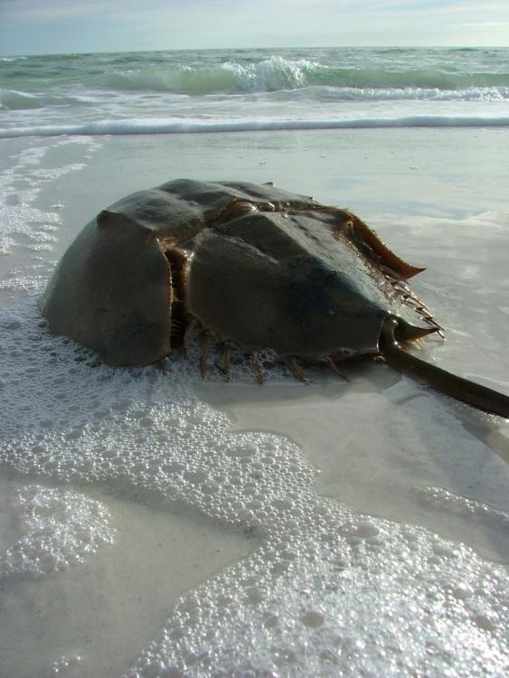 Horseshoe_Crab.jpg