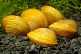 Двустворчатые моллюски