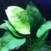 Анубиас конголезкий