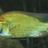 Haplochromis burtoni
